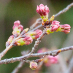 eye_bud-colored-cherry-blossoms