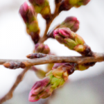 eye_bud-loosen-cherry-blossoms