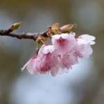 eye_bud-tinted-cherry-blossom