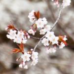 eye_yamanaka-flowering