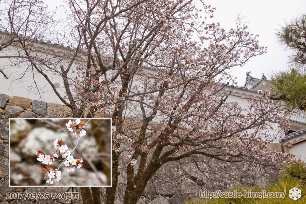 yamanaka-flowering_03