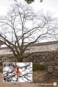 yamanaka-flowering_11