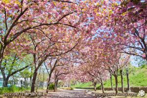 110per-bloom-late-cherry-blossom_01