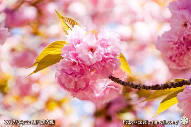 110per-bloom-late-cherry-blossom_02