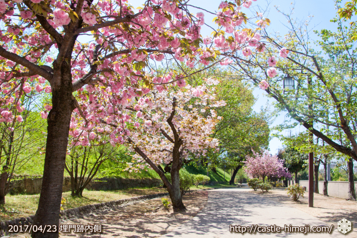 110per-bloom-late-cherry-blossom_03