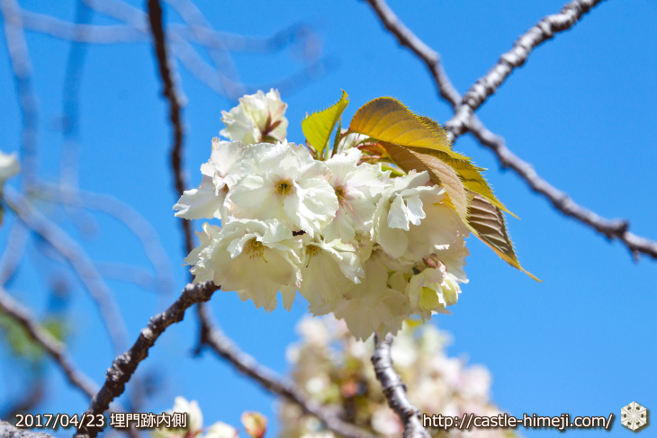 110per-bloom-late-cherry-blossom_05