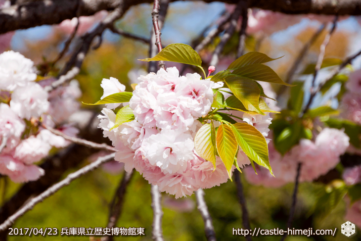 110per-bloom-late-cherry-blossom_09