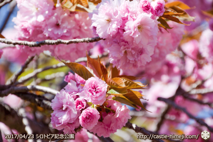 110per-bloom-late-cherry-blossom_12