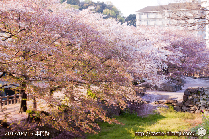 30per-bloom-late-cherry-blossom_07