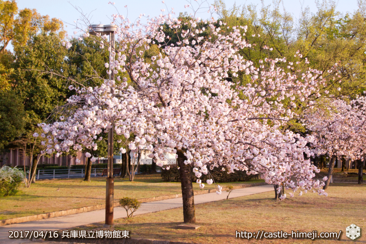 30per-bloom-late-cherry-blossom_12