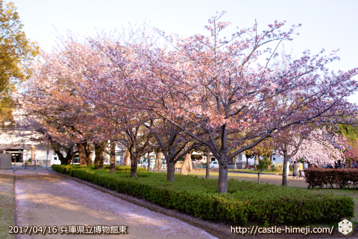 30per-bloom-late-cherry-blossom_13