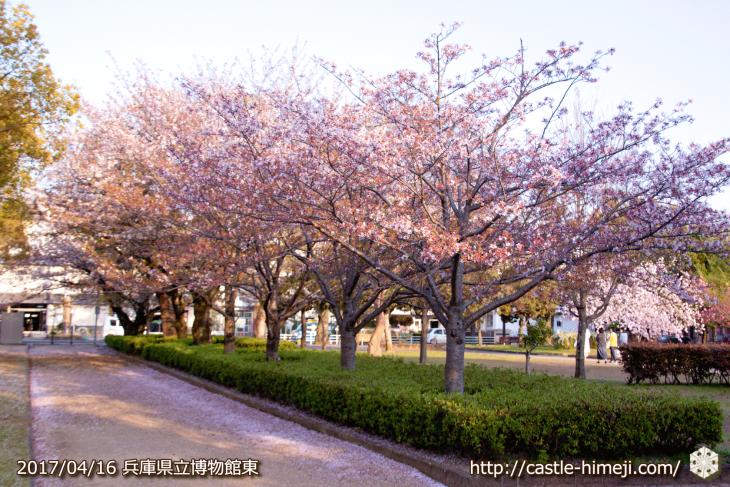 30per-bloom-late-cherry-blossom_13