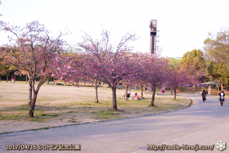 30per-bloom-late-cherry-blossom_16