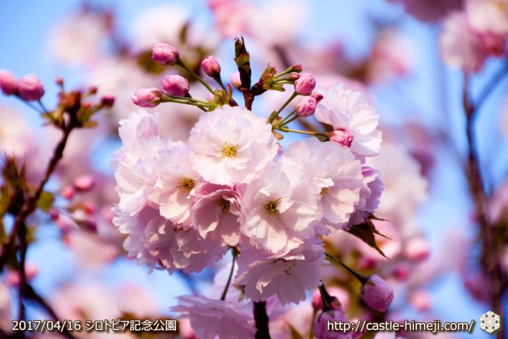 30per-bloom-late-cherry-blossom_19