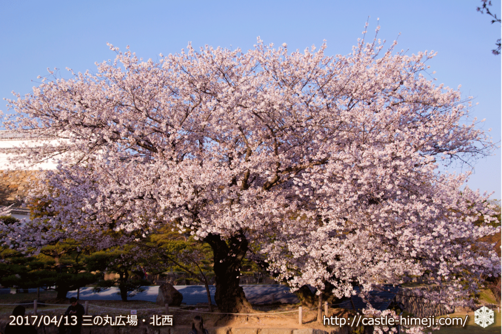 cherry-blossoms-end_05