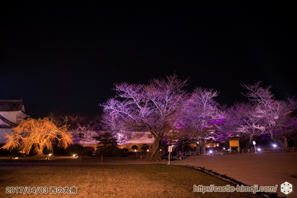 cherry-blossoms-night2017_10