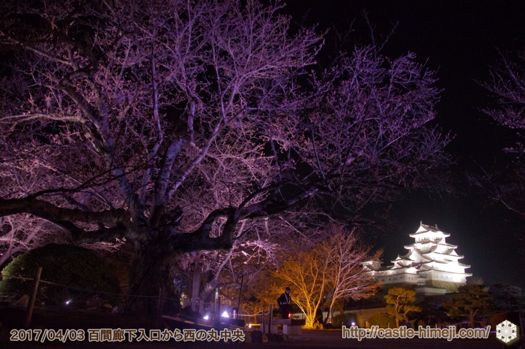 cherry-blossoms-night2017_12