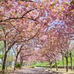 eye_110per-bloom-late-cherry-blossom