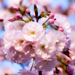 eye_30per-bloom-late-cherry-blossoms