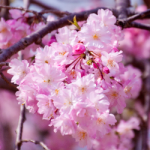 eye_area-of-not-bloom-cherry-blossom