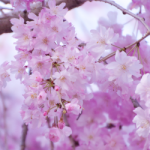 eye_cherry-blossoms-end