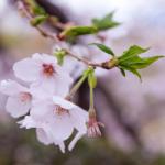 eye_seductive-cherry-blossoms-2017