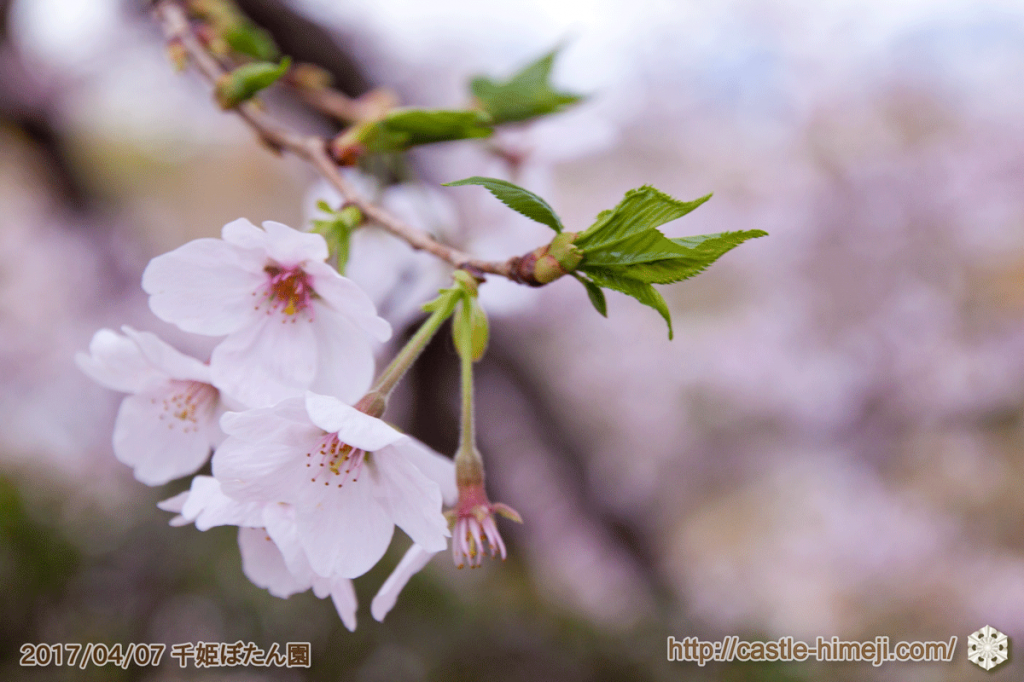 seductive-cherry-blossoms-2017_11
