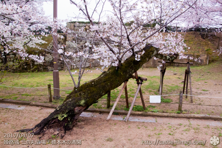 cherry-blossoms-cant-planted_02