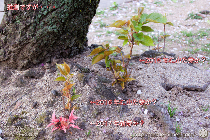 cherry-blossoms-cant-planted_04
