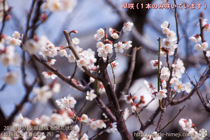 cherry-blossoms20180310_inside_07