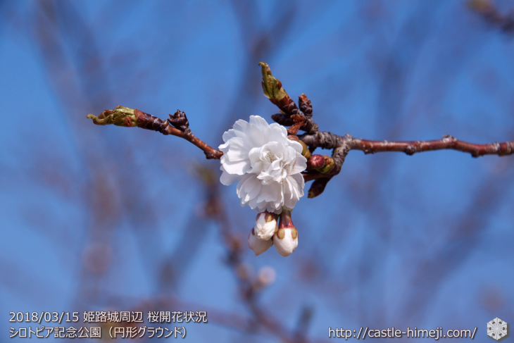 cherry-blossoms20180310_naka_02