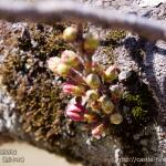 cherry-blossoms20180317_uchi_04