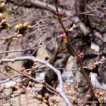 cherry-blossoms20180317_uchi_05