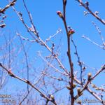 cherry-blossoms20180317_uchi_06