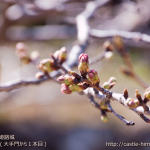 cherry-blossoms20180317_uchi_08