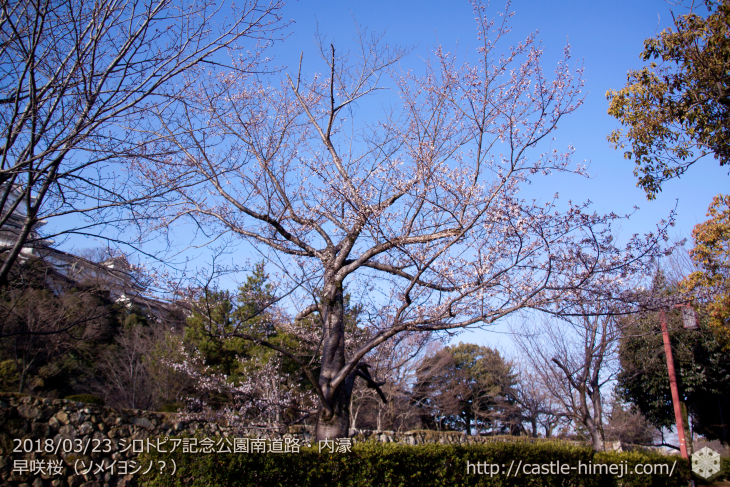 cherry-blossoms20180323_naka1_01