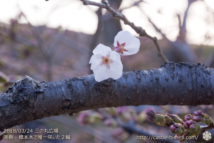 cherry-blossoms20180324_uchi_02