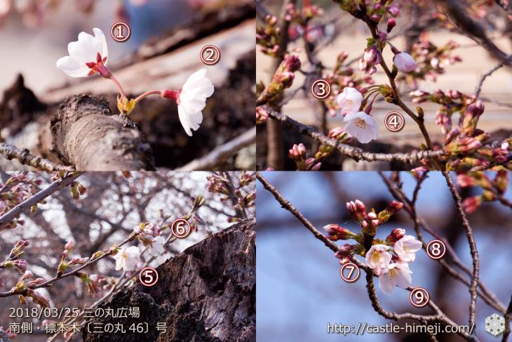 cherry-blossoms20180325_uchi_02