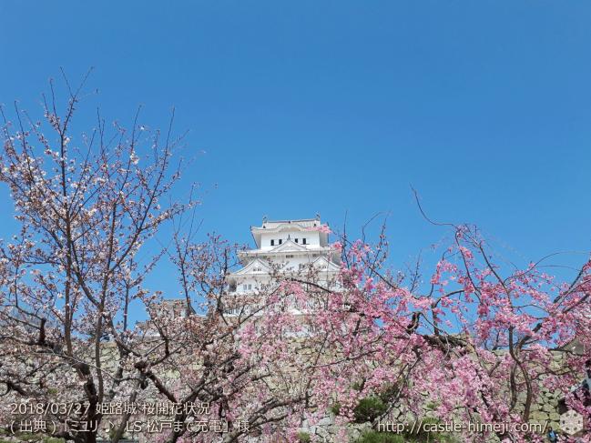 cherry-blossoms20180327_uchi_06