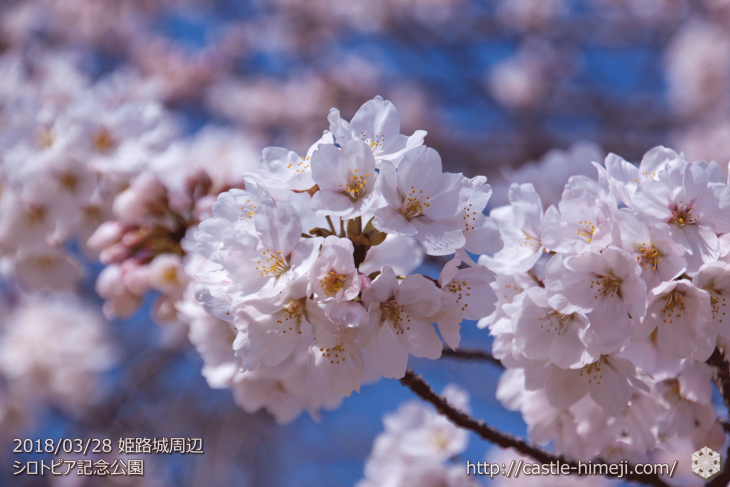 cherry-blossoms20180328_naka1_02