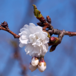 eye_allowing-cherry-blossoms-already319
