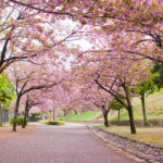 eye_slow-cherry-blossoms20180415