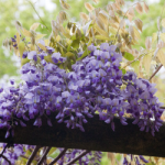 eye_wisteria-flowers20180415