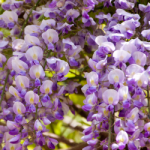 eye_wisteria-flowers20180422
