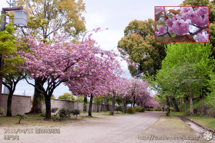 slow-cherry-blossoms20180415_06