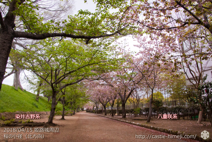 slow-cherry-blossoms20180415_08
