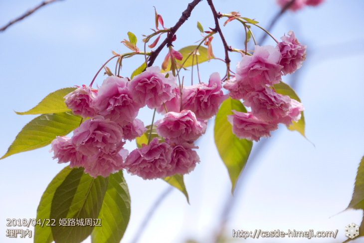 slow-cherry-blossoms20180422_07