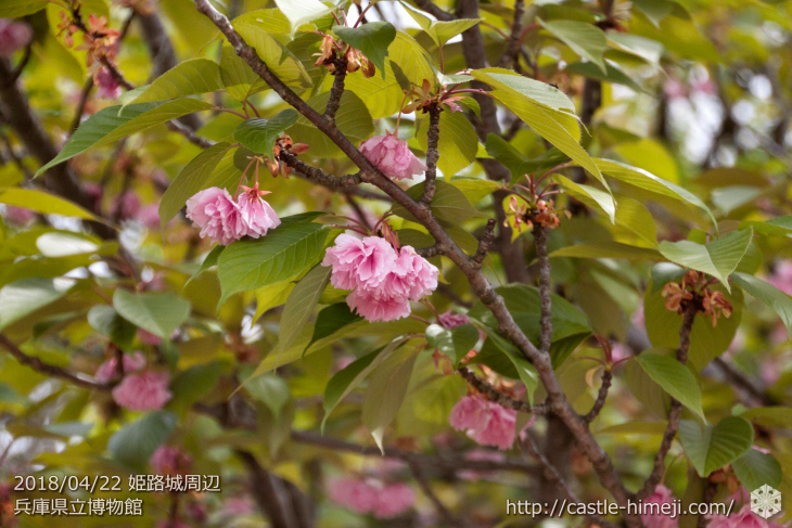 slow-cherry-blossoms20180422_09