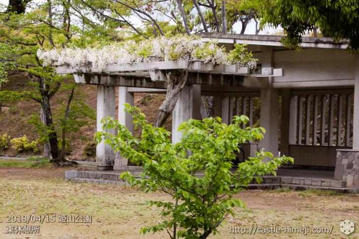 wisteria-flowers20180415_01