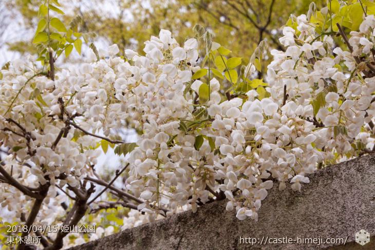 wisteria-flowers20180415_02